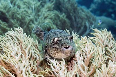 Puffer Fish Photograph - Map Pufferfish by Georgette Douwma