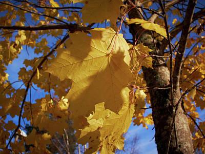 Photograph - Maple In Fall by Jouko Lehto