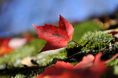 Photograph - Maple Leaf by Douglas Pike