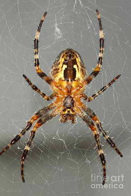 Photograph - Marbled Orb Weaver Spider by Ted Kinsman