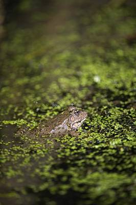 Marsh Frog Art Print by Louise Murray
