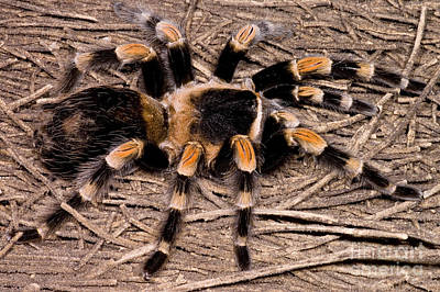 Photograph - Mexican Red-legged Tarantula by Dante Fenolio