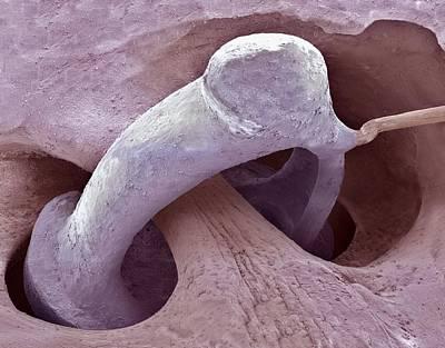 Middle Ear Bone, Sem Art Print by Steve Gschmeissner
