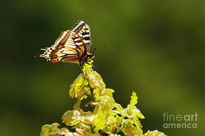 Photograph - Monarch Butterfly by Carlos Caetano