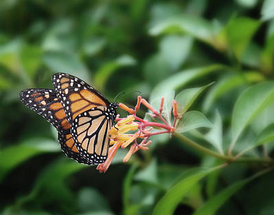 Photograph - Monarch Butterfly by Joseph G Holland