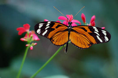 Photograph - Monarch Butterfly by Luis Esteves
