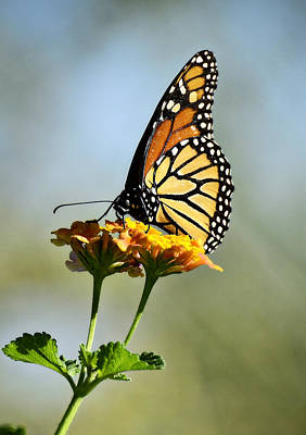 Photograph - Monarch Butterfly by Saija  Lehtonen