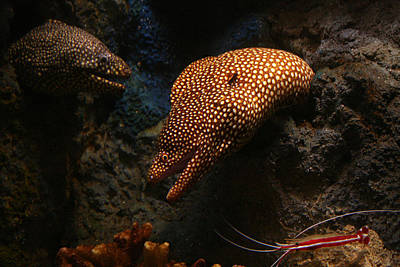 Photograph - Moray Eel Monterey Bay Aquarium  by Benjamin Dahl