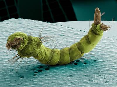 Mosquito Larva, Sem Print by Ted Kinsman
