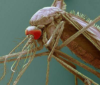 Mosquito, Sem Art Print by Steve Gschmeissner