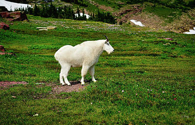 Photograph - Mountain Goat by Greg Norrell