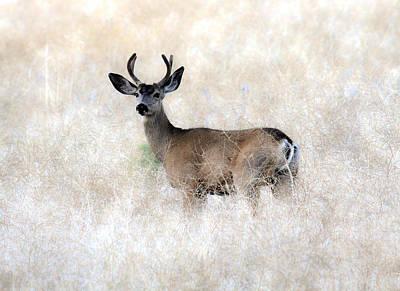 Photograph - Mule Deer Buck by Steve McKinzie