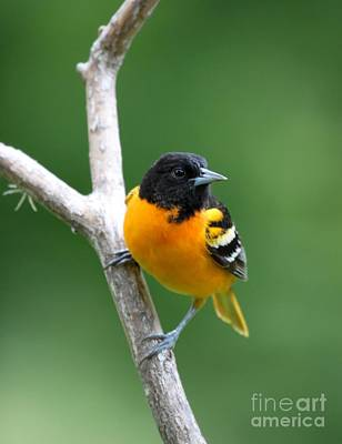 Photograph - Northern Baltimore Oriole by Jack R Brock