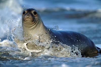 Photograph - Northern Elephant Seal Mirounga by Tim Fitzharris
