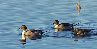 Photograph - Northern Pintail Courtship by Harry Strharsky