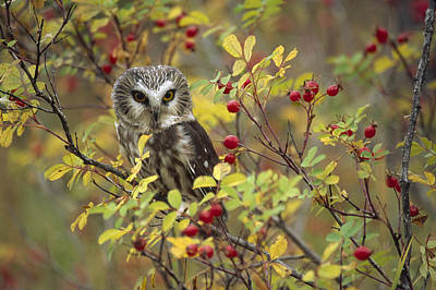 Photograph - Northern Saw Whet Owl Perching by Tim Fitzharris