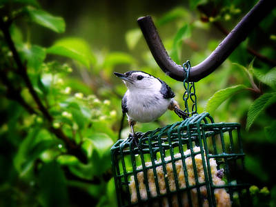 Photograph - Nuthatch by Scott Hovind