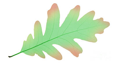 Photograph - Oak Leaf, X-ray by Ted Kinsman