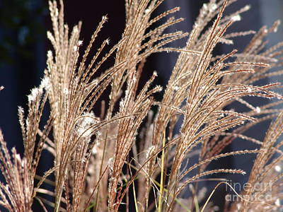 Photograph - Oat Grass by Rod Ismay