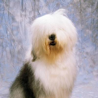 Old English Sheepdog Art Print by The Irish Image Collection