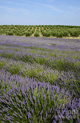The Plateaus Photograph - Olive Trees. Provence by Bernard Jaubert