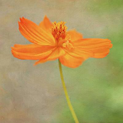 Tickseed Photograph - Orange Flower by Pamela N. Martin
