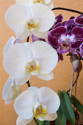 Photograph - Orchid Delight by Carmen Del Valle