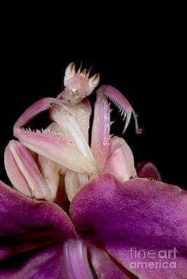 Thailand Wildlife Photograph - Orchid Mantis by Dant� Fenolio