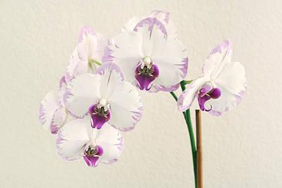 Photograph - Orchid by Masha Batkova