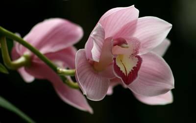 Orchid's  Mystery Art Print by Valia Bradshaw