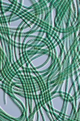 Oscillatoria Cyanobacteria, Dic Image Art Print by Sinclair Stammers
