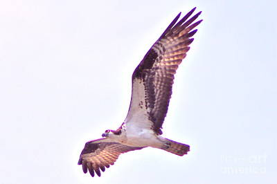 Photograph - Osprey 3 by Pamela Walrath