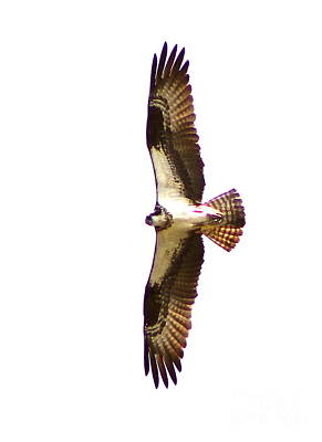 Photograph - Osprey 5 by Pamela Walrath