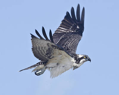 Photograph - Osprey by Eric Miller