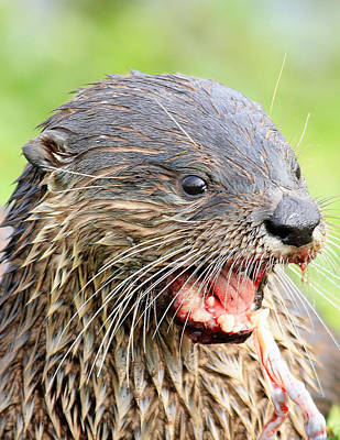 Photograph - Otter by Ira Runyan