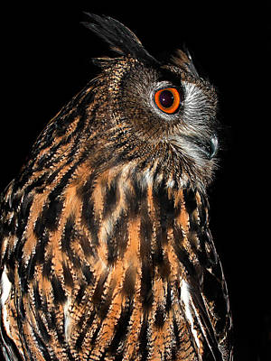 Photograph - Side Portrait Of An Eagle Owl by Jean Noren