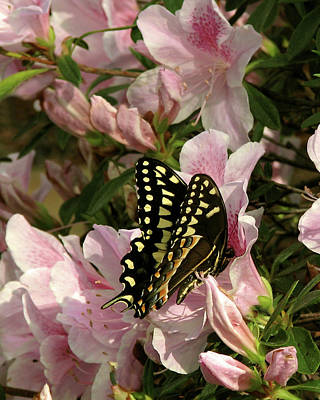 Photograph - Palamedes Swallowtail by Peg Urban