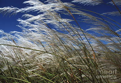Mustique Photograph - Pampas Grass by Peter Falkner