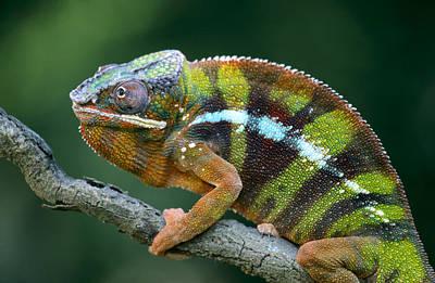 Photograph - Panther Chameleon Chamaeleo Pardalis by Ingo Arndt