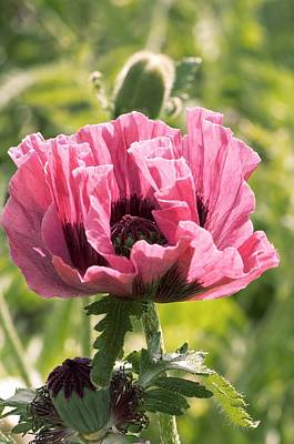 One Single Pink Poppy Flower Photograph - Papaver Orientale 'manhattan' by Adrian Thomas