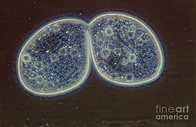 Binary Fission Photograph - Paramecium by M. I. Walker