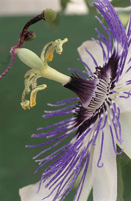 Passion Flower Art Print by Archie Young