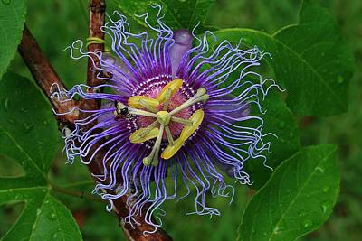Photograph - Passion Flower by Ira Runyan