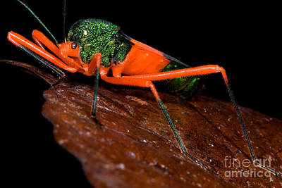 Assassin Bugs Photograph - Passion Vine Bug by Dant� Fenolio
