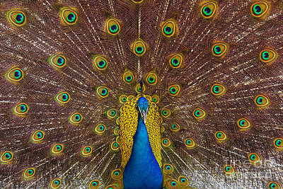 Spotted Tail Photograph - Peacock by Carlos Caetano