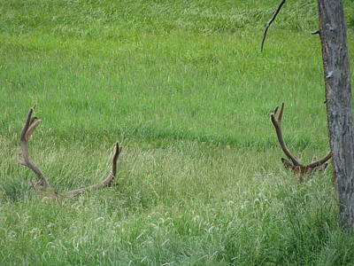 Elk In Velvet Photograph - Peeking Out by Shawn Hughes