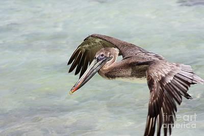 Pelican Art Print by Sophie Vigneault