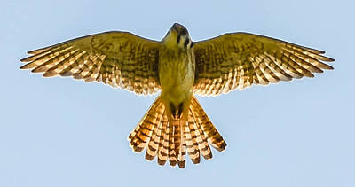 Peregrine Falcon Art Print by Brian Stevens