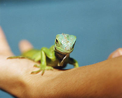 Pet Iguana Art Print by Cristina Pedrazzini