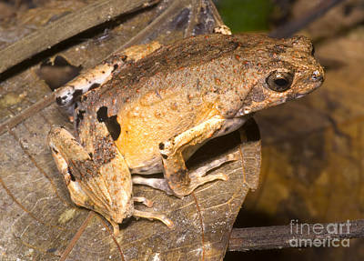 Frogs Photograph - Peters Dwarf Frog by Dante Fenolio